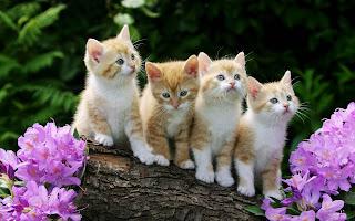 Kitten Achtergronden  HD Wallpapers