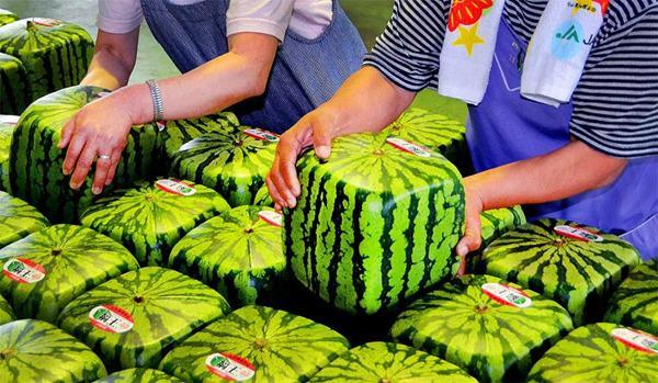 melon jepang
