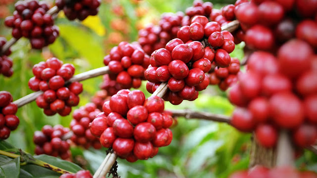 Brasil deverá colher 59,15 mi sacas de café em 2018/19, diz Terra Forte