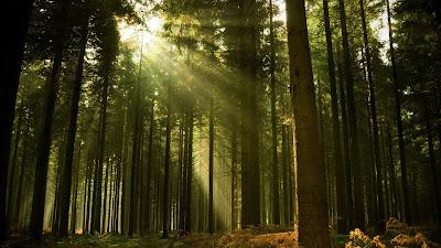 Bosque en el que se filtra a través de las copas la luz del día.