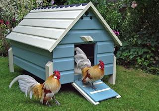 12 Informasi Menarik Tentang  Ayam Kate Yang Perlu Diketahui Sebelum Pembudidayaan