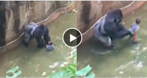 بالفيديو.. لقطات مروعة لطفل يسقط داخل قفص غوريلا شاهد ماذا فعلت به وسط صرخات أمه  شاهد ماذا فعلوا لإنقاذ الطفل !