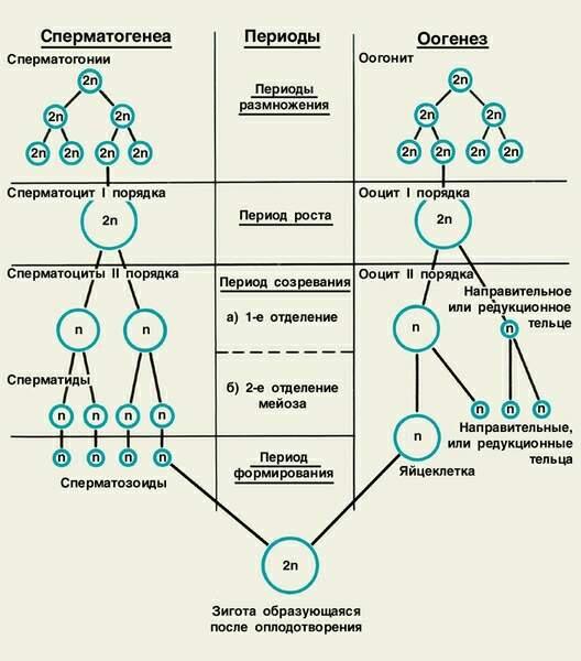 Характнристика сперматогенез і оогенез