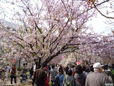 八重紅大島桜