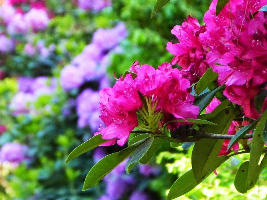 Rhododendronpark Bremen, Rhododendron Park Bremen