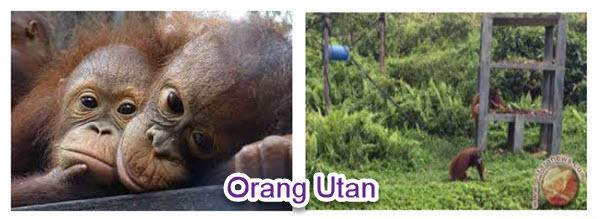 Aktivitas Harian Orangutan