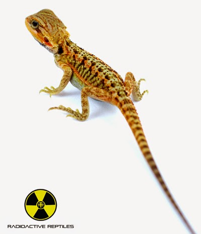 I Have Bearded Dragon Hatchlings For Sale! | For the Love of