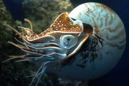 Inilah Cumi Bercangkang Bernama Nautilus