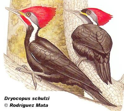 Carpintero negro Dryocopus schulzi