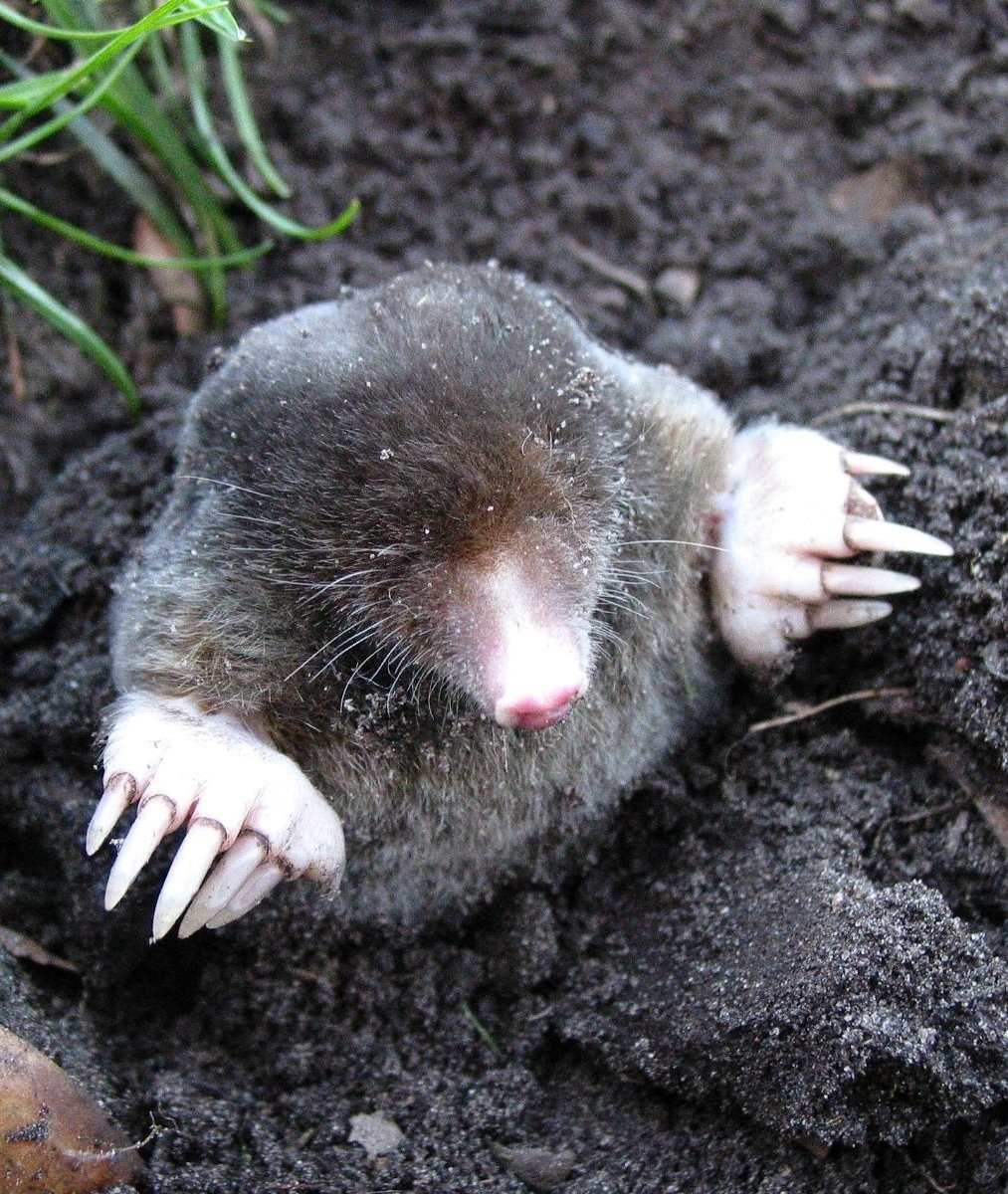 An image of a mole emerging from the ground.