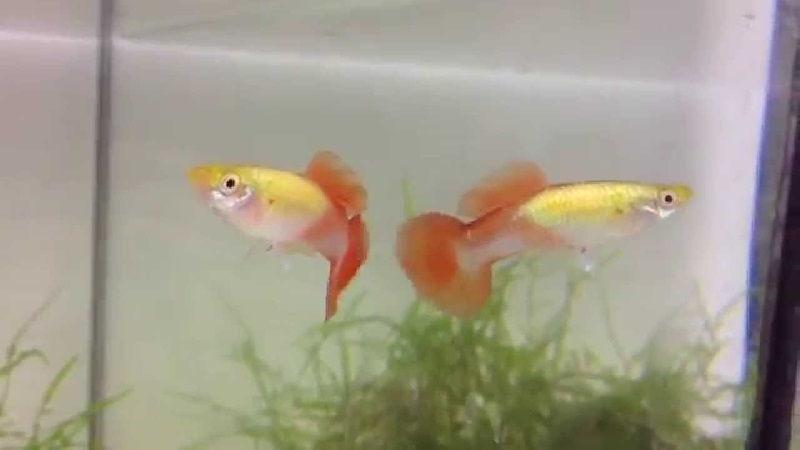 Gambar Ikan Guppy Roundtail Blond, yellow metallic, APW, rot
