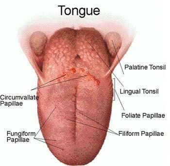Struktur dan anatomi lidah