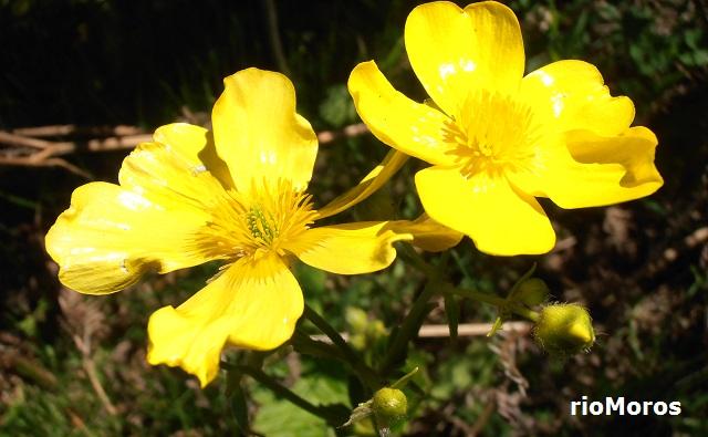 Flores de Morgallón Ranunculus cortusifolius