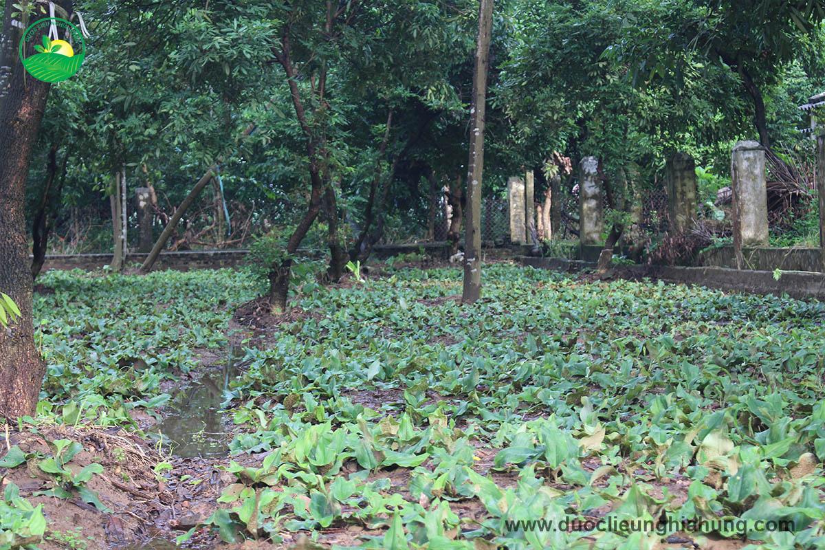 Địa liền là loại cây ưa bóng, phát triển tốt dưới các tán cây lớn