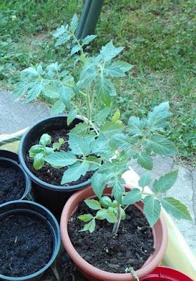 Esempi di consociazione fra ortaggi: pomodoro e basilico