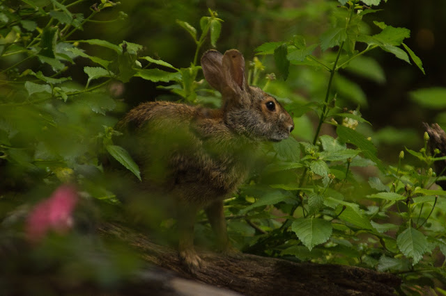 Swamp Rabbit, Smith Oaks Sanctuary