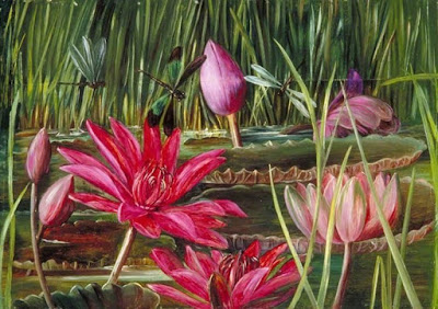 Watercolor Red Water Lily of Southern India  By: Marianne North