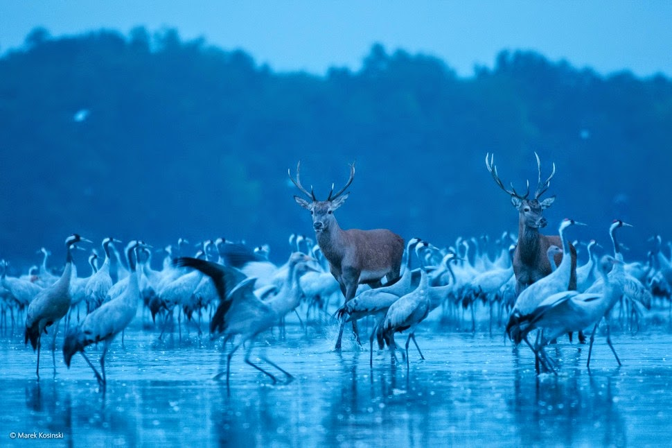 Finalists Of The 2014 Wildlife Photographer Of The Year Competition  Red Deer and Cranes by Marek Kosinski photography