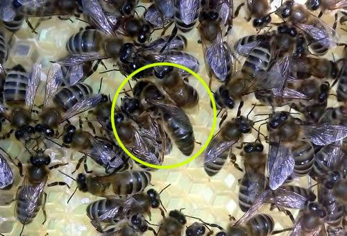 Πως ήταν η Ελληνική μέλισσα το 1962 πριν έρθουν ξένες φυλές στην χώρα: Ιστορικό ντοκουμέντο!!!