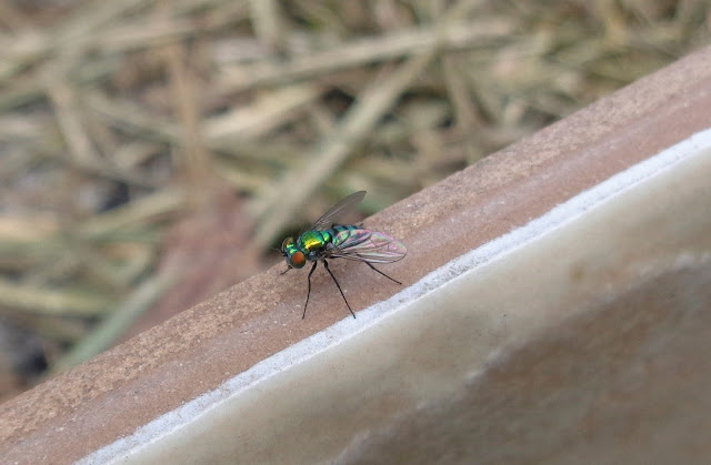 Shiny Long-Legged Fly (Dolichopodidae)