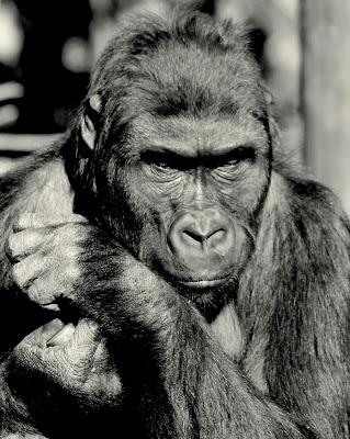 imagenes de gorilas