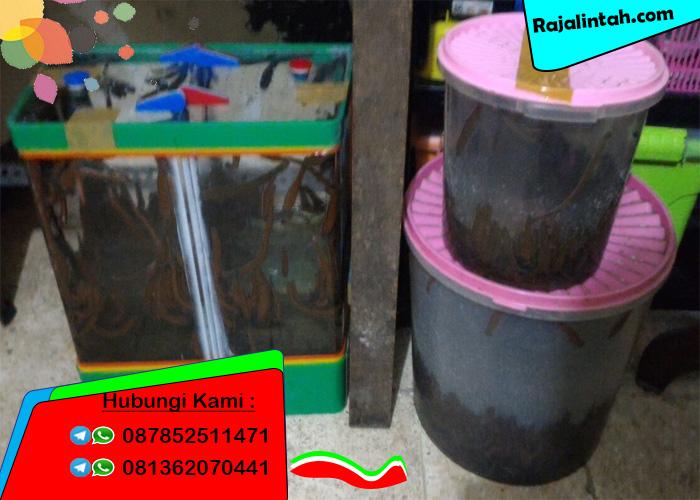 Tempat Jual Lintah di Surabaya, Tempat Jual Lintah Terapi di Surabaya, Tempat Jual Lintah hidup di Surabaya, Tempat Jual Lintah murah di Surabaya, Tempat Jual Lintah didaerah Surabaya.