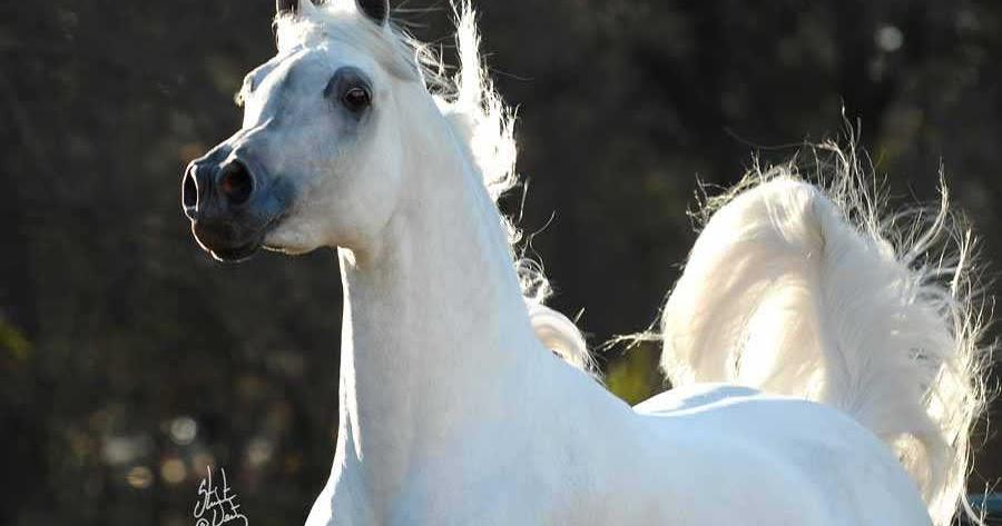 Arabian Horse كل ما يتعلق بالخيل العربى الاصيل