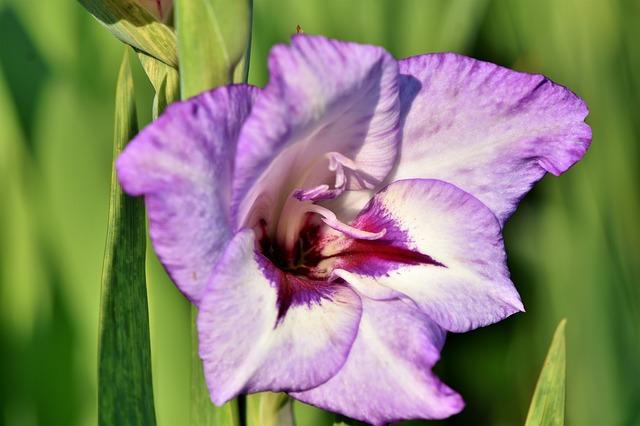 hoa lay ơn đẹp nhất 4