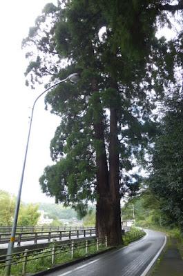 天川神社の巨木
