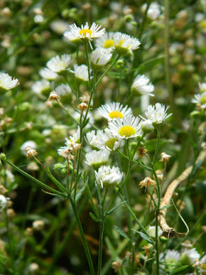 Common fleabane Erigeron philadelphicus Toronto ecological gardening by garden muses-not another Toronto gardening blog