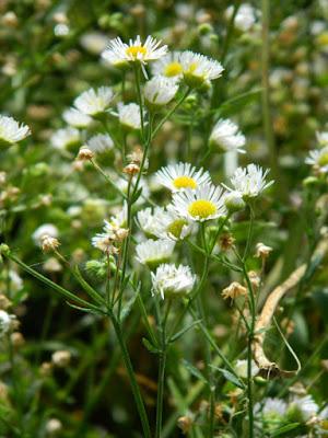 Common fleabane Erigeron philadelphicus Toronto ecological gardening by garden muses-not another Toronto gardening blog