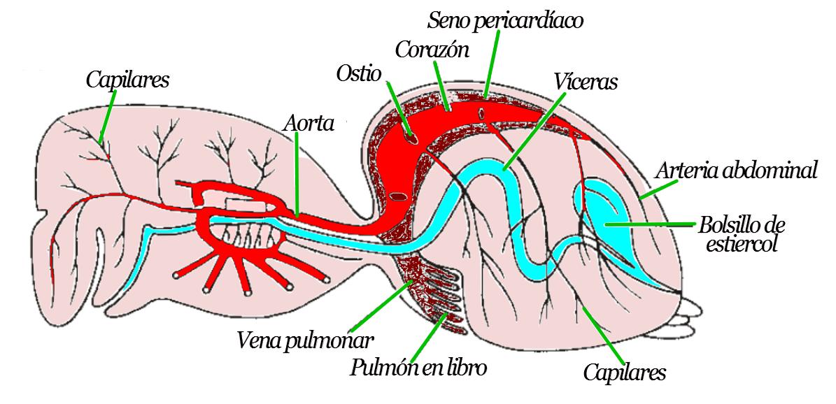 Ciencias de Joseleg: 9 SISTEMA CIRCULATORIO DE LOS ARTRÓPODOS