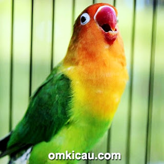 download suara lovebird kusumo mp3, mp3 download, omkicau, ngekek panjang