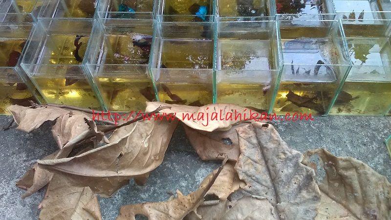 Gambar Manfaat Daun Ketapang Untuk Ikan Cupang