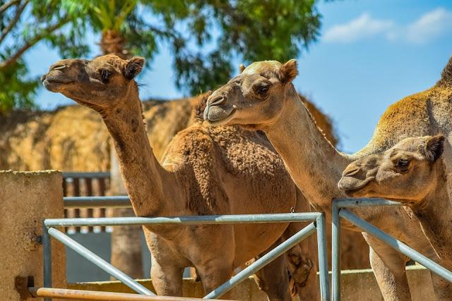 camels abu dhabi