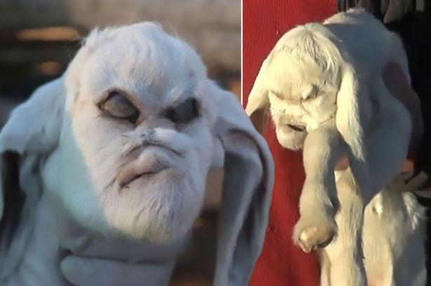 goat born with demonic face terrifies locals olomoinfo