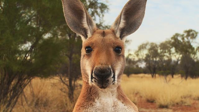 Kangaroo: A Love-Hate Story: Film Review