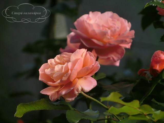 роза мари кюри, сад и розы, розарий, розы для сада, сорта роз