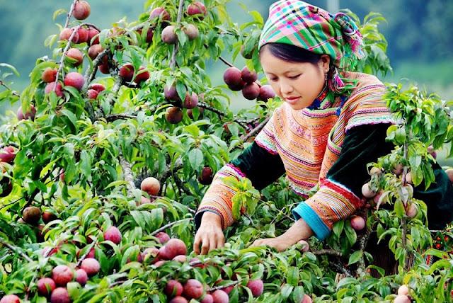 Moc Chau plateau on the season of plum 1