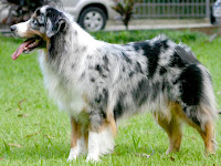 Australian Shepherd Animal Pictures