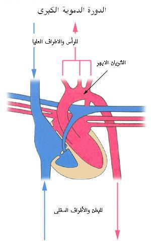 الدورة الدموية الصغرى والكبرى