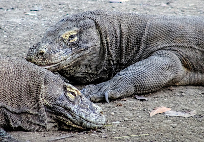 Komodo Dragons. A peaceful morning in the Komodo National Park and an acrimonious debate on reptilian venoms