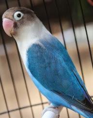 Lovebird Biru Cobalt Biasa