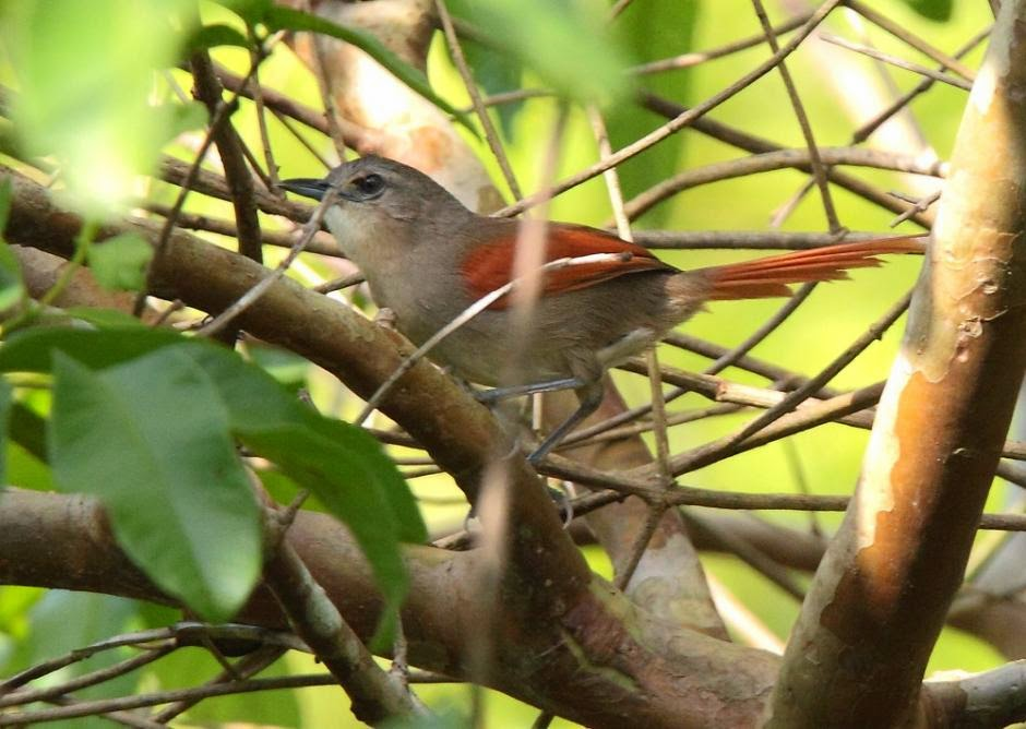 spinetail birds in america