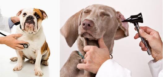 Köpek Kulak Hastalıkları