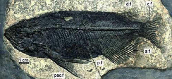 New species of dragon fish discovered from the Eocene of China