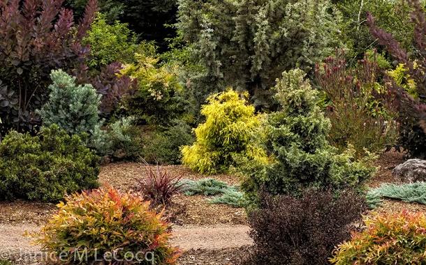 Кипарисовике в хвойном саду, фото Janice M Le Cocq
