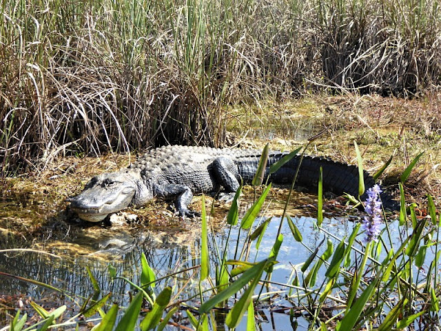 alligatore alle everglades