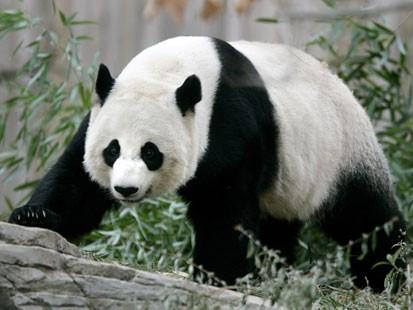 Animales El Oso Panda