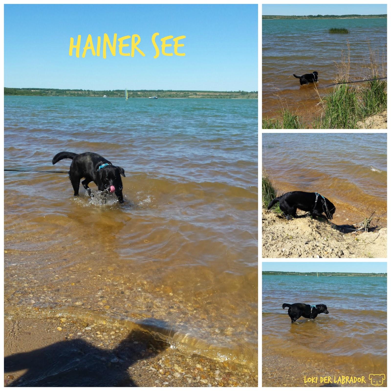 Hainer See Schwarzer Labrador